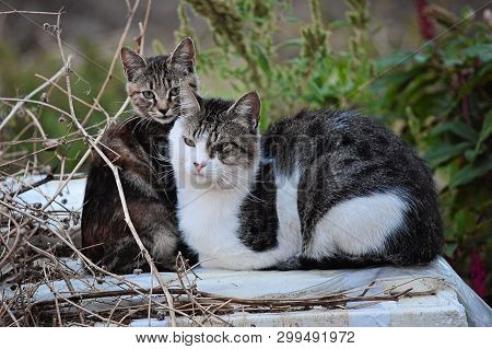 Gray Cats Posing In Grass. Close Image Cat Oudoor In Garden