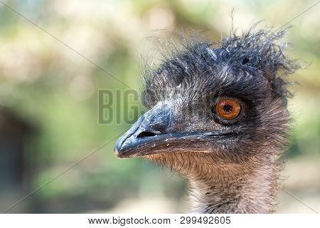 Emu (dromaius Novaehollandiae) - The Largest Native Bird Species Of Australia