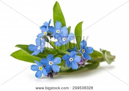 Forget Me Nots (myosotis) Flowers On White Background