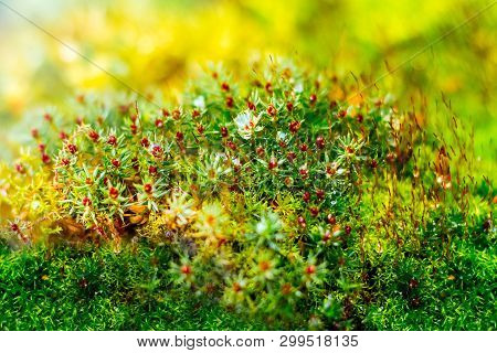 Green Bright Moss During The Flowering Period. Moss Texture