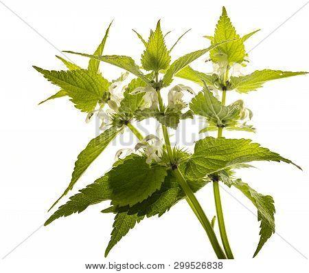 Herb Lamium Album - White Nettle (white Dead-nettle) Healthy Plant
