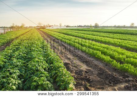 Agricultural Landscape With Vegetable Plantations. Growing Organic Vegetables In The Field. Farm Agr