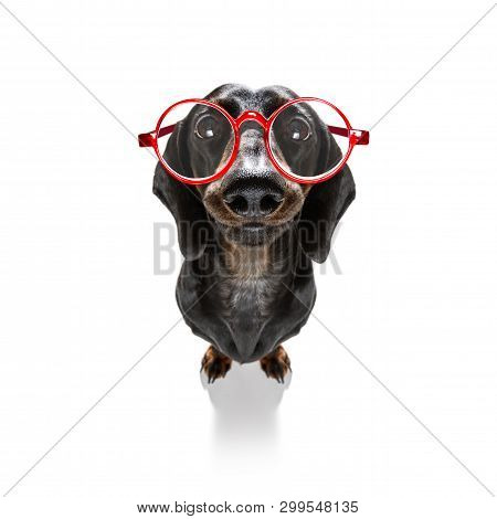 Dumb Crazy Sausage Dachshund Dog With Nerd Glasses As An Office Business Worker With Pencil In Mouth