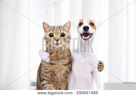 Portrait Of A Dog Jack Russell Terrier And Cat Scottish Straight Hugging Each Other