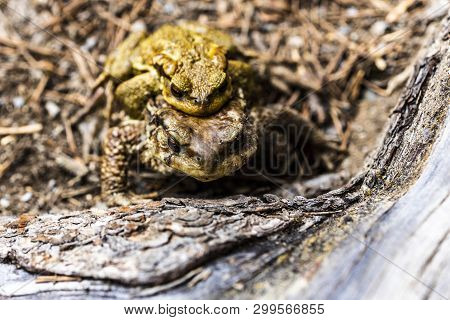 Two Toads Copulating Out Of The Water