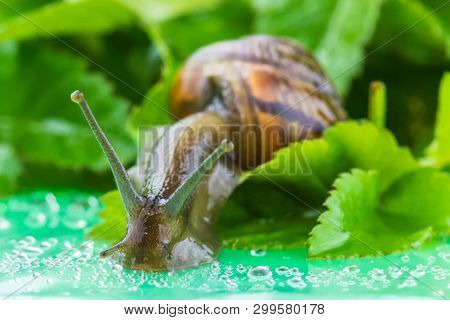The beautiful macro shot of  funny inquisitive snail doing his slow stroll among the vivid and bright green leaves poster