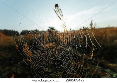 Big Cowweb Among Blades In Field In Sun Light At Dawn. Spider's Web In Summer Field In Sun Rays At D