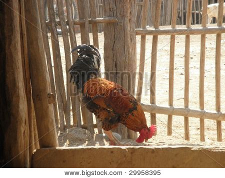 Rooster with colorful feathers