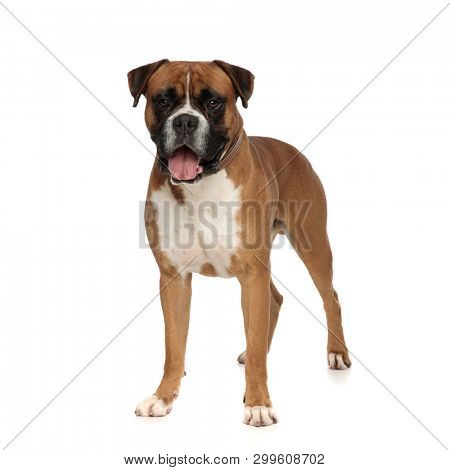imposing boxer standing straight looking towards the camera on a light background poster