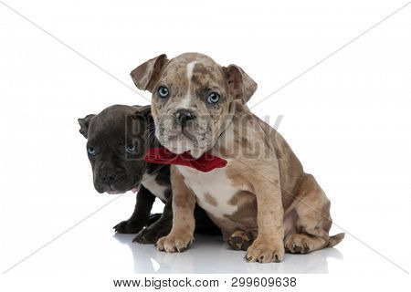 Guilty American Bully puppies looking forward and wearing bow ties while sitting with their mouths closed on white studio background