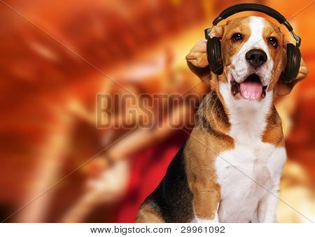 Beagle dog wearing headphones over disco background. poster