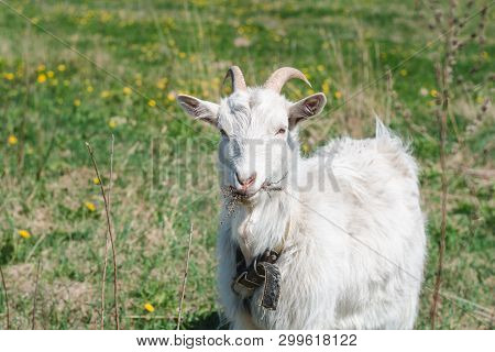 White Horned Goat Wearing A Collar Eating Dry Grass On A Green Meadow On A Summer Sunny Day