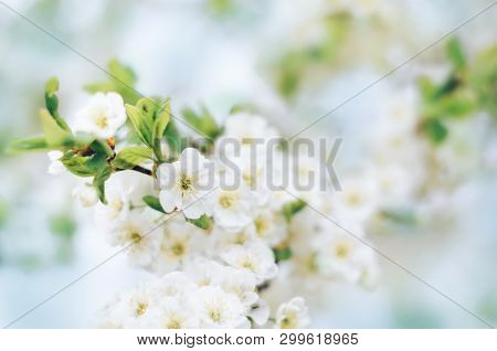Blooming Plum Tree Branches With White Flowers In A Fruit Garden Against A Blue Sky, Soft Focus