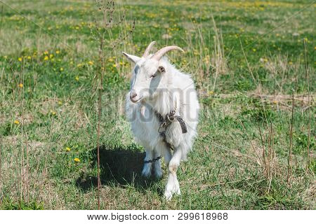 White Horned Goat With Long Hair On A Green Meadow On A Sunny Summer Day