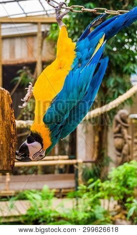 Blue And Yellow Macaw Parrot Hanging Upside Down, Funny Tropical Pet From America