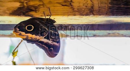 Closeup Of A Forest Giant Owl Butterfly, Tropical Insect From America, Popular Pet In Entomoculture