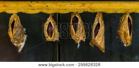 Large Butterfly Cocoons Of A Tropical Specie, Insects Undergoing Metamorphosis