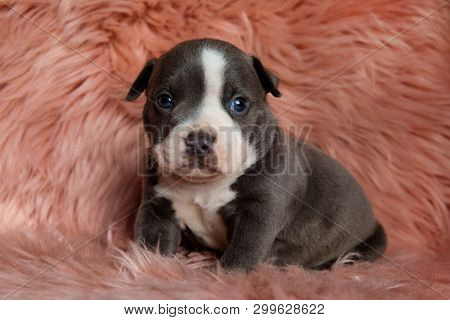 Lovely American Bully puppy sitting with its mouth closed while guilty looking forward on furry pink background
