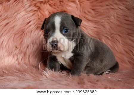 Adorable Amstaff puppy sitting with its mouth closed while curiously looking towards the camera on furry pink background