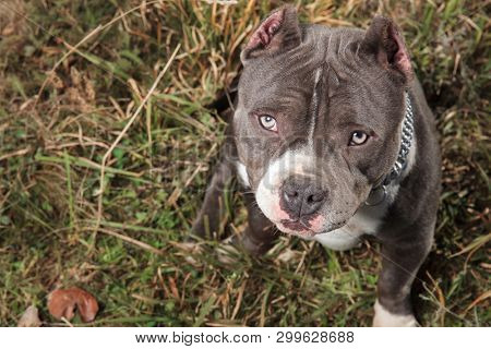 Dutiful American Bully looking upwards with its mouth closed while felling guilty and sitting on outdoor background