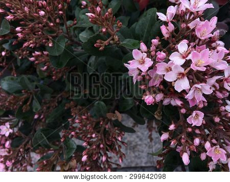 Spring Pink Flowers In The Garden As Background .spring Meadow Landscape. Pink Spring Flowers Of Clo