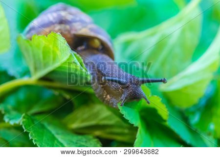 The Beautiful Macro Shot Of  Funny Inquisitive Snail Doing His Slow Stroll Among The Vivid And Brigh