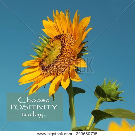 Inspirational Motivational Quote- Choose Positivity Today.  Beautiful Sunflowers With Clean Blue Sky