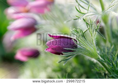 Close Up Of Spring Bright Purple Pasqueflower ( Pulsatilla Vernalis) With Fluffy Steams Blooming. Bl