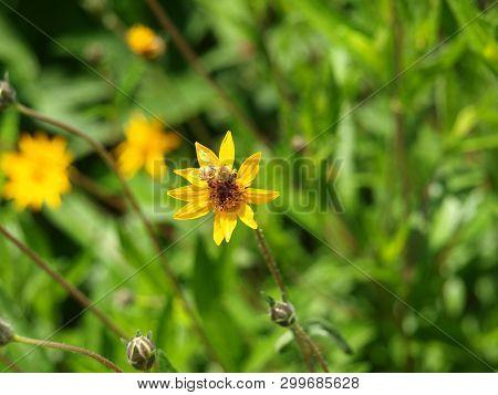 Honey Bee On Spring Bloom In A Water-wise Garden