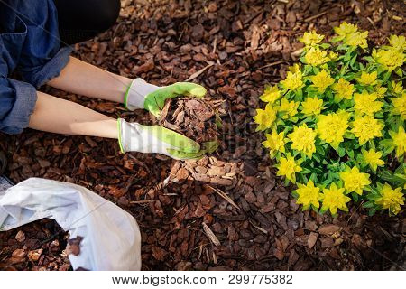 Gardener Mulching Flower Bed With Pine Tree Bark Mulch
