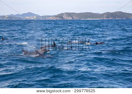 Dolphins Swimming At The Surface At Bay Of Islands In New Zealand.