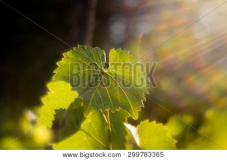 Vine Leaves In Autumn. Vine Leaves Lit By The Setting Sun. Green Leaves Lit By Soft Sunlight. Wine V