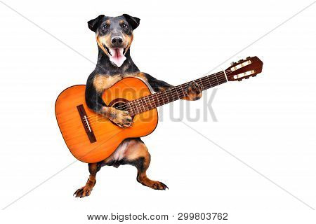 Funny Dog Breed Jagdterrier Standing With Acoustic Guitar Isolated On White Background