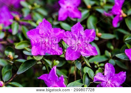 Close Up Of A Flowering Shrub With Small Pink Rhododendrons With Selective Focus On The Rhododendron