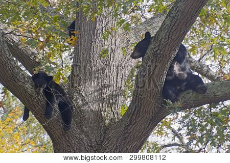 A Lactating Mother Black Bear Lounges And Snoozes With Her Cubs In A Tall Oak Tree In Autumn