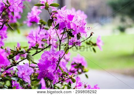 Flowering Shrub Rhododendron. Pink Flowers Of Rhododendron. Planting, Care And Cultivation Of Rhodod