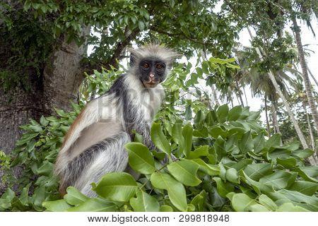 Red Colobus Monkey In A Natural Environment, Zanzibar.