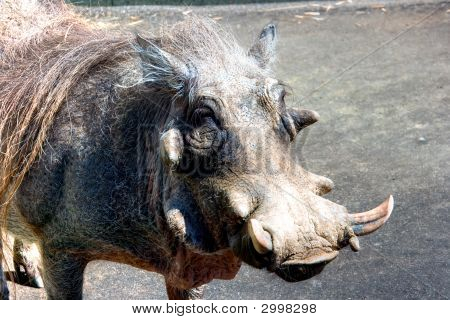 Walking In An Open Air Cage Wart-Hog