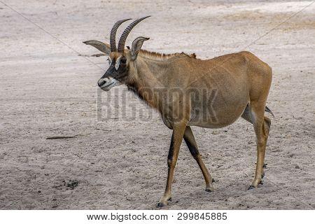 Portrait Of A Rare Roan Antelope (hippotragus Equinus), Senegal