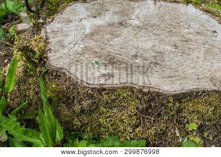 Stump Covered With Moss .wood Texture. Stump In The Forest.