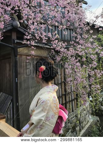 Beautiful Japanese Girl Wearing A Kimono Showing Her  Hair In An Updo, Sitting By A Sakura Tree, Or