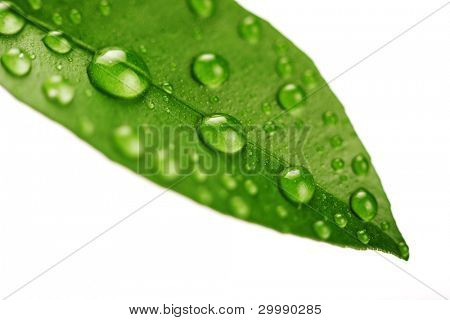 Fresh green leaf isolated on white background