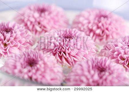 purple chrysanthemum flower closeup, soft focus