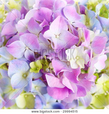 Hydrangea macro