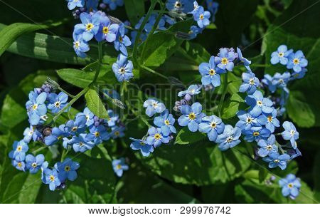 Blooming Little Blue Forget-me-nots In Spring Sunlit