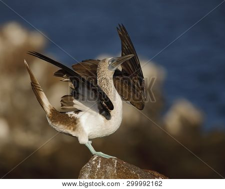 Blue-footed Booby (sula Nebouxii) Displaying To Its Mate - North Seymour Island, Galapagos