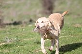 Yellow labrador dog competing in field trial competition poster