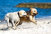 Golden retriever and lagrador running on the beach poster