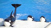 Three Killer Whales (called Orca Whales) performing for a crowd. poster