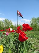 Flag of the Right Sector fluttering in the wind among a park in Sumy, Ukraine. Red and black flag on flagpole on the background of a flower bed with colorful tulips poster